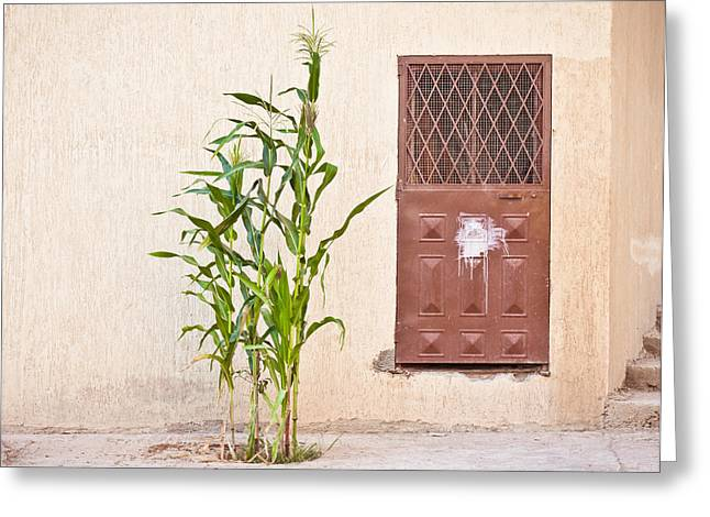 Defiance Greeting Cards - Maize plant Greeting Card by Tom Gowanlock