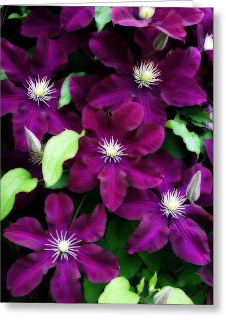 Kay Novy Greeting Cards - Majestic Amethyst Colored Clematis Greeting Card by Kay Novy