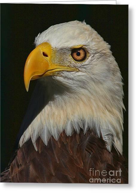 Hunting Bird Greeting Cards - Majestic Beauty Greeting Card by Deborah Benoit