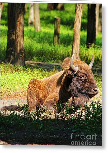 Majestic Bison Greeting Card by Mariola Bitner
