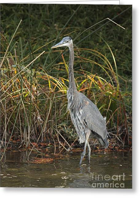 Chevalier Greeting Cards - Majestic Blue Heron Greeting Card by Elizabeth Chevalier
