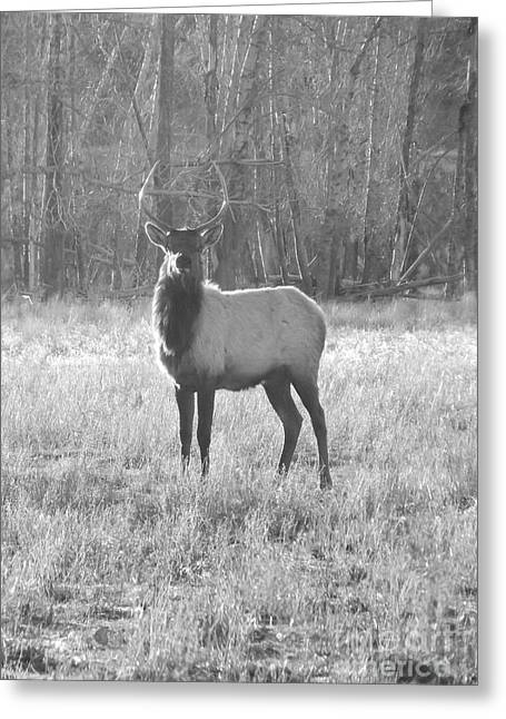 Hunting Cabin Greeting Cards - Majestic Elk Greeting Card by Christina Stanley