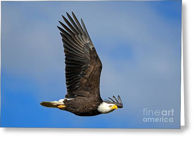 Soar Greeting Cards - Majestic Glide Greeting Card by Mike Dawson