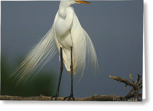 Egret Greeting Cards - Majestic Great Egret Greeting Card by Bob Christopher
