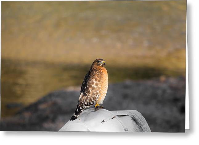 Birds Of A Feather Greeting Cards - Majestic Hawk 2 Greeting Card by Shelby  Young