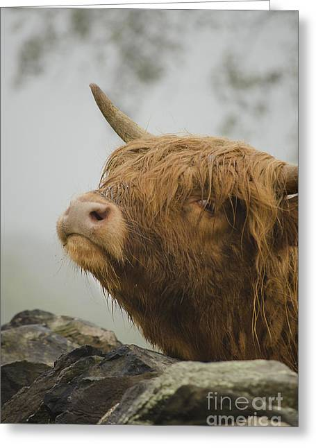 Country Woolies Greeting Cards - Majestic Highland Cow Greeting Card by Linsey Williams