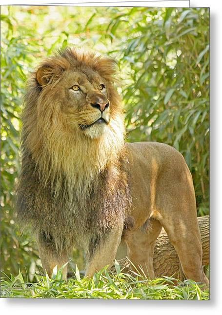 Lioness Greeting Cards - Majestic Greeting Card by Kim Hojnacki
