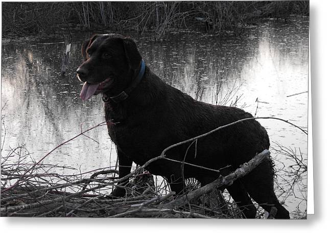 Chocolate Lab Greeting Cards - Majestic Labrador Greeting Card by Penny Homontowski