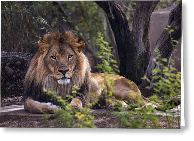 Lioness Greeting Cards - Majestic Lion Greeting Card by Dave Dilli