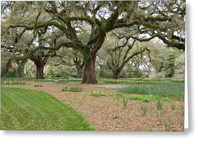 Live Art Photographs Greeting Cards - Majestic Live Oaks in Spring Greeting Card by Suzanne Gaff