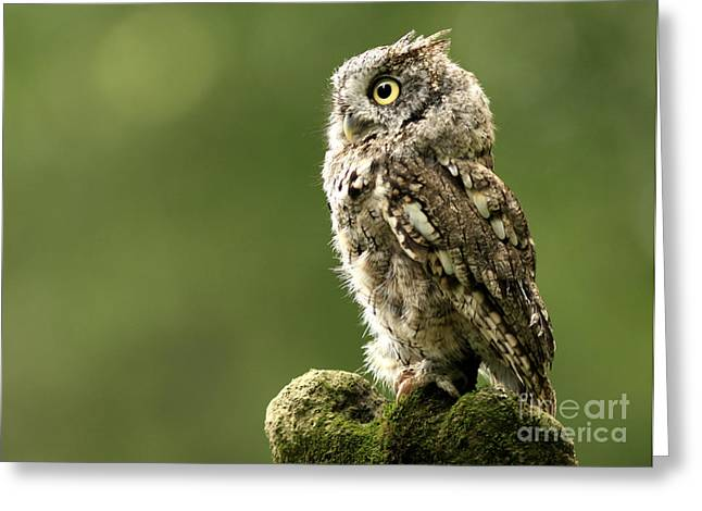 Shelley Myke Greeting Cards - Majestic Moments Eastern Screech Owl Greeting Card by Inspired Nature Photography By Shelley Myke