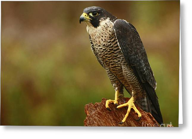 Majestic Peregrine Falcon In The Rain Greeting Card by Inspired Nature Photography Fine Art Photography