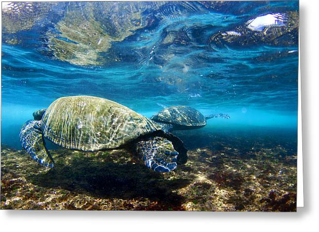 Sea Life Framed Prints Greeting Cards - Majestic Turtle Greeting Card by Sean Davey