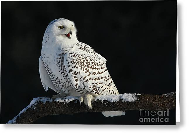 Shelley Myke Greeting Cards - Majestic Whisper - Snowy Owl Greeting Card by Inspired Nature Photography By Shelley Myke