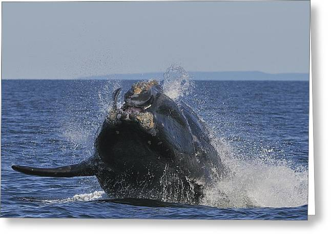 Right Whale Breach Greeting Cards - Making A Splash Greeting Card by Tony Beck