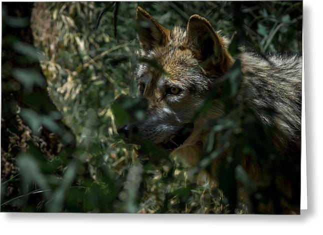 Wolf Portrait Greeting Cards - Making Rounds Greeting Card by Ernie Echols