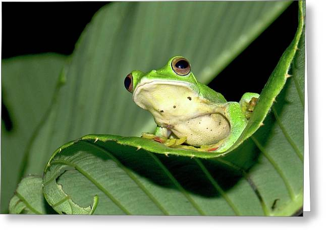 Malabar Gliding Frog Greeting Card by K Jayaram
