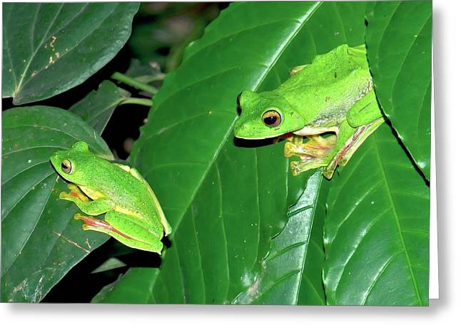 Malabar Gliding Frogs Greeting Card by K Jayaram