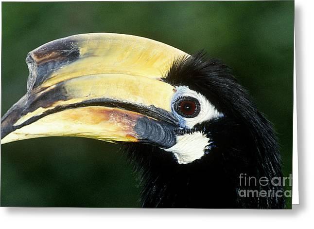 Hornbill Greeting Cards - Malabar Pied Hornbill Greeting Card by Art Wolfe
