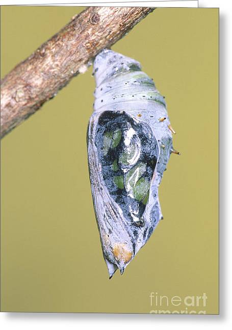 Emergence Greeting Cards - Malachite Butterfly Emerging 1 Of 6 Greeting Card by Millard H. Sharp