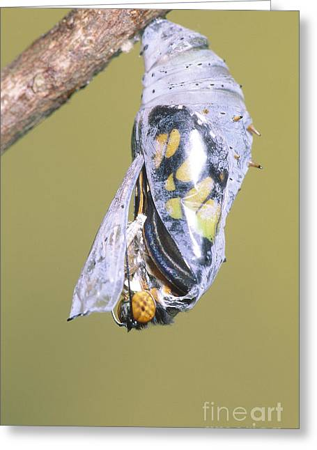 Emergence Greeting Cards - Malachite Butterfly Emerging 2 Of 6 Greeting Card by Millard H. Sharp