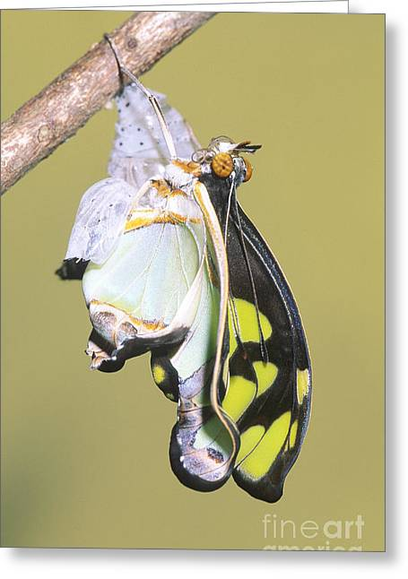 Emergence Greeting Cards - Malachite Butterfly Emerging 5 Of 6 Greeting Card by Millard H. Sharp
