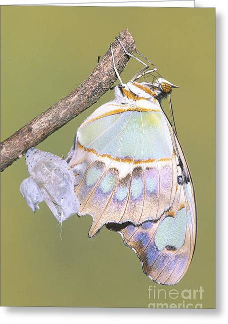 Emergence Greeting Cards - Malachite Butterfly Emerging 6 Of 6 Greeting Card by Millard H. Sharp