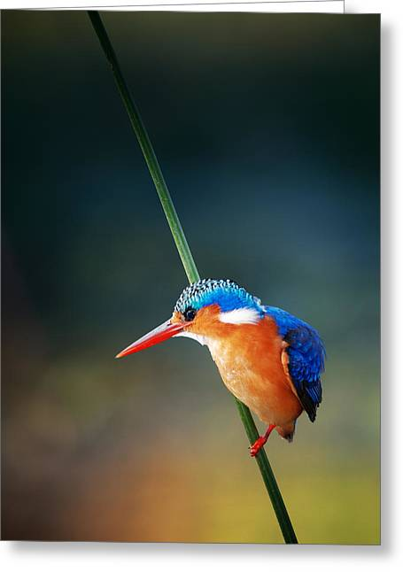 Outdoor Portrait Greeting Cards - Malachite Kingfisher Greeting Card by Johan Swanepoel