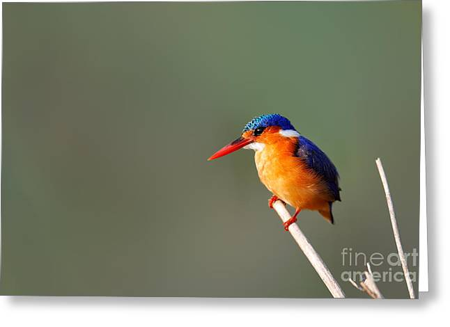 Orange Beak Greeting Cards - Malachite Kingfisher on a reed Greeting Card by Johan Swanepoel