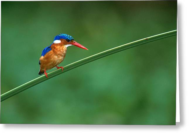 Repose Greeting Cards - Malachite Kingfisher Tanzania Africa Greeting Card by Panoramic Images