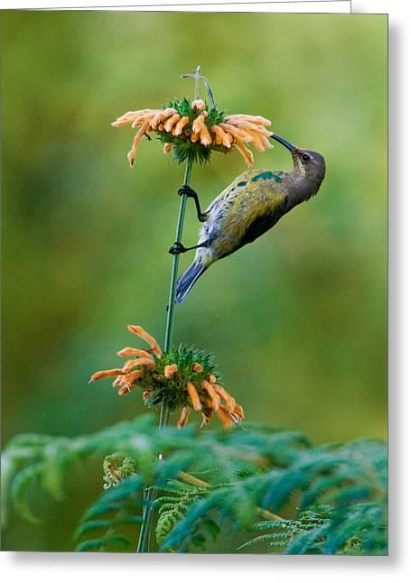 Feeding Birds Greeting Cards - Malachite Sunbird Nectarinia Famosa Greeting Card by Panoramic Images