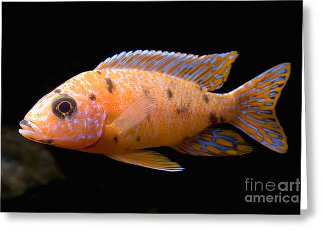 Aquarium Fish Greeting Cards - Malawi Emperor Cichlid Greeting Card by Frank Teigler