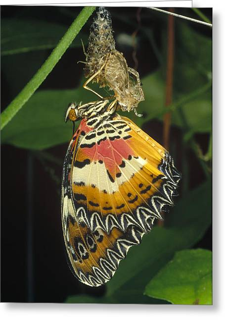 Cocoon Greeting Cards - Malay Lacewing Emerging From Cocoon Greeting Card by Mark Moffett