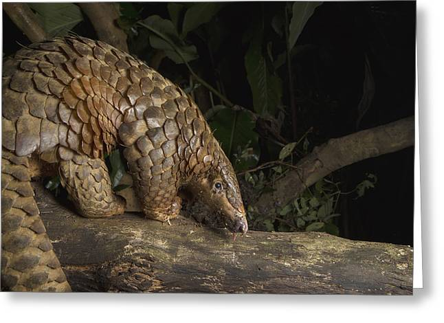 Malayan Pangolin Eating Ants Vietnam Greeting Card by Suzi Eszterhas