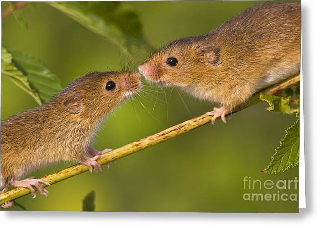 Face In Profile Greeting Cards - Male and Female Harvest Mice Greeting Card by Jean-Louis Klein and Marie-Luce Hubert