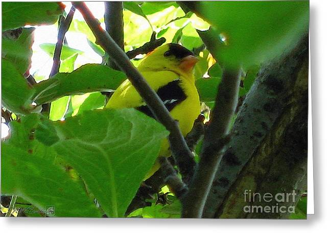 Male American Goldfinch Greeting Card by J McCombie