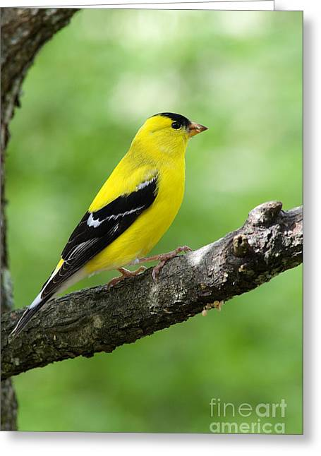 American Goldfinch Greeting Cards - Male American Goldfinch Greeting Card by Thomas R Fletcher
