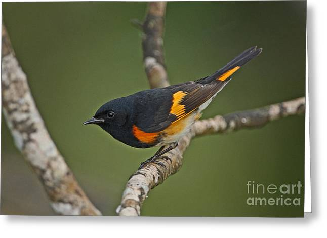 Winter Migrants Greeting Cards - Male American Redstart Greeting Card by Neil Bowman