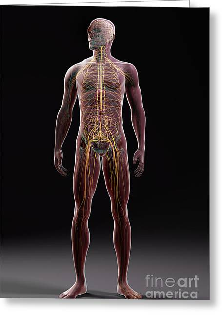Central Nervous System Greeting Cards - Male Anatomy Greeting Card by Science Picture Co