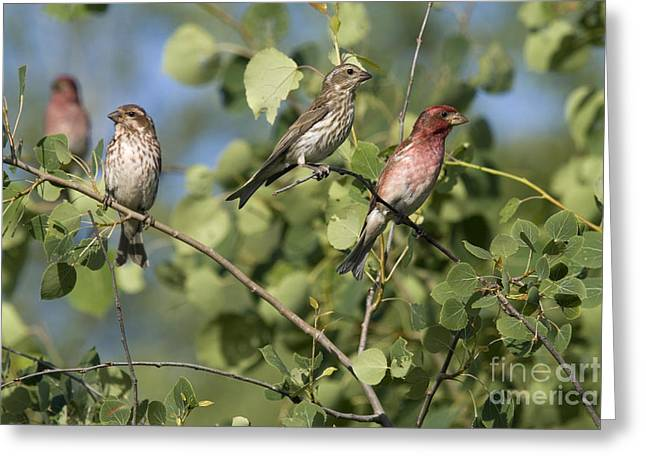 Finch Greeting Cards - Male And Female Purple Finches Greeting Card by Linda Freshwaters Arndt