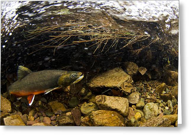 Perk Greeting Cards - Male Arctic Char River Liza Cumbria Greeting Card by Jack Perks
