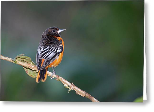 Male Baltimore Oriole, Icterus Galbula Greeting Card by Thomas Wiewandt