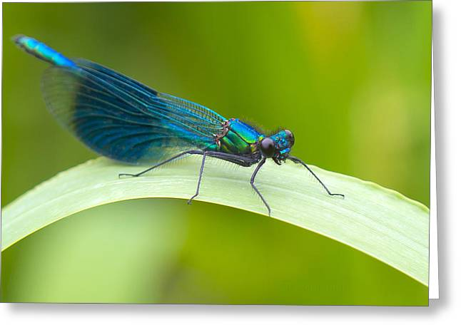 Demoiselles Greeting Cards - Male Banded Demoiselle Greeting Card by Steven Poulton
