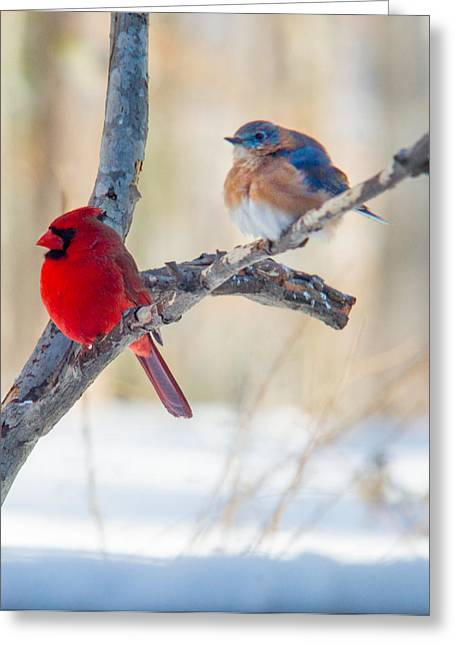 Passeriformes Greeting Cards - Male Bluebird and Cardinal on Branch Greeting Card by Douglas Barnett