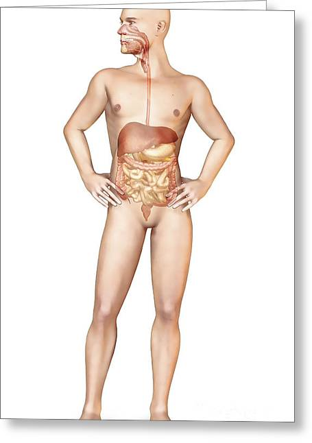 Full Body Digital Art Greeting Cards - Male Body Standing, With Full Digestive Greeting Card by Leonello Calvetti