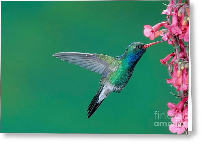 Hovering Greeting Cards - Male Broadbill Hummingbird Hovering Greeting Card by Anthony Mercieca