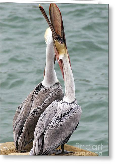 Environemtn Greeting Cards - Male Brown Pelican Neck Exercise Greeting Card by Darleen Stry