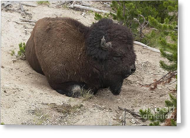 Male Buffalo At Hot Springs Greeting Card by Belinda Greb