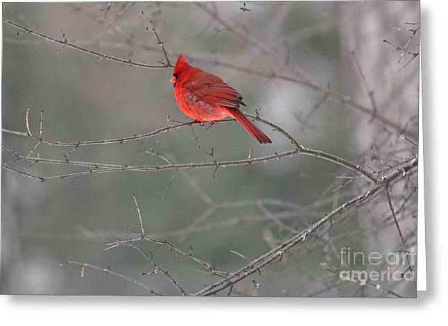 Male Cardinal Greeting Cards - Male Cardinal 0800 Greeting Card by Jack Schultz