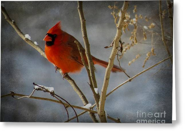 Male Cardinals In Snow Greeting Cards - Male Cardinal 2 Greeting Card by Brenda Bostic